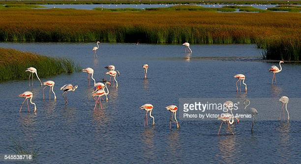 flamingos feeding - victor ovies fotografías e imágenes de stock