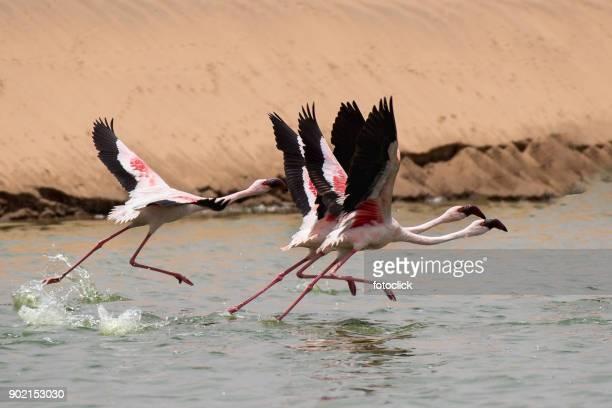 flamingos fliegen - greater flamingo stock photos and pictures