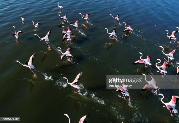 Flamingos fly over Aegean Sea during their migration period in Izmir Turkey on September 25 2017 Izmir hosts various species of birds such as...