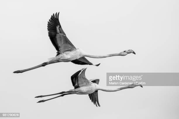 flamingos flying against clear sky - flamingo stock pictures, royalty-free photos & images