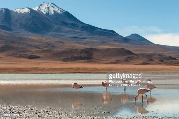 Flamingos in a Laguna of the Bolivian Altiplano , Bolivia