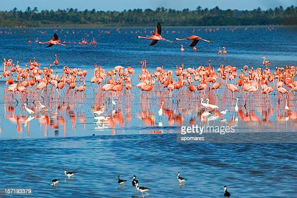 Flamingos in a Tropical coastal lagoon