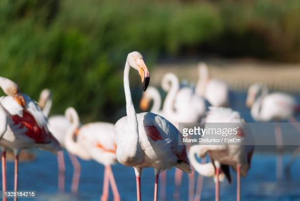 flamingos in camargue - marek stefunko stock pictures, royalty-free photos & images