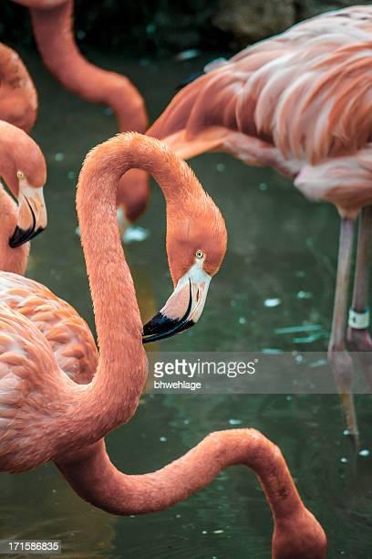 Flamingos in Captivity