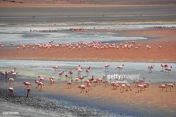 Flamingos in Colorada laguna