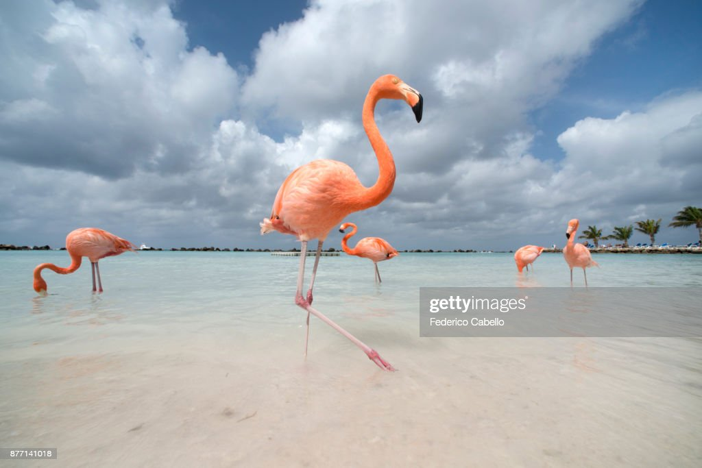 Flamingos in Flamingos Beach. Aruba : Stock Photo
