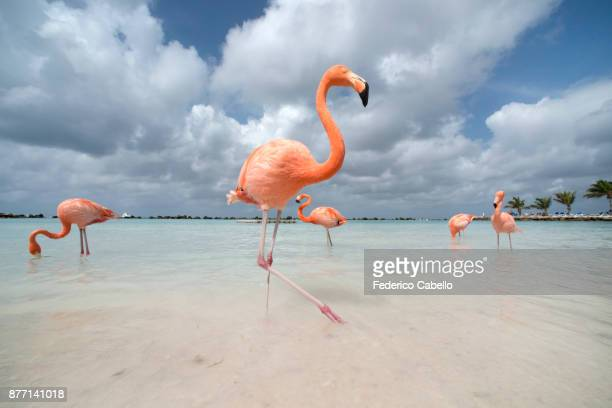 flamingos in flamingos beach. aruba - flamingo stock pictures, royalty-free photos & images