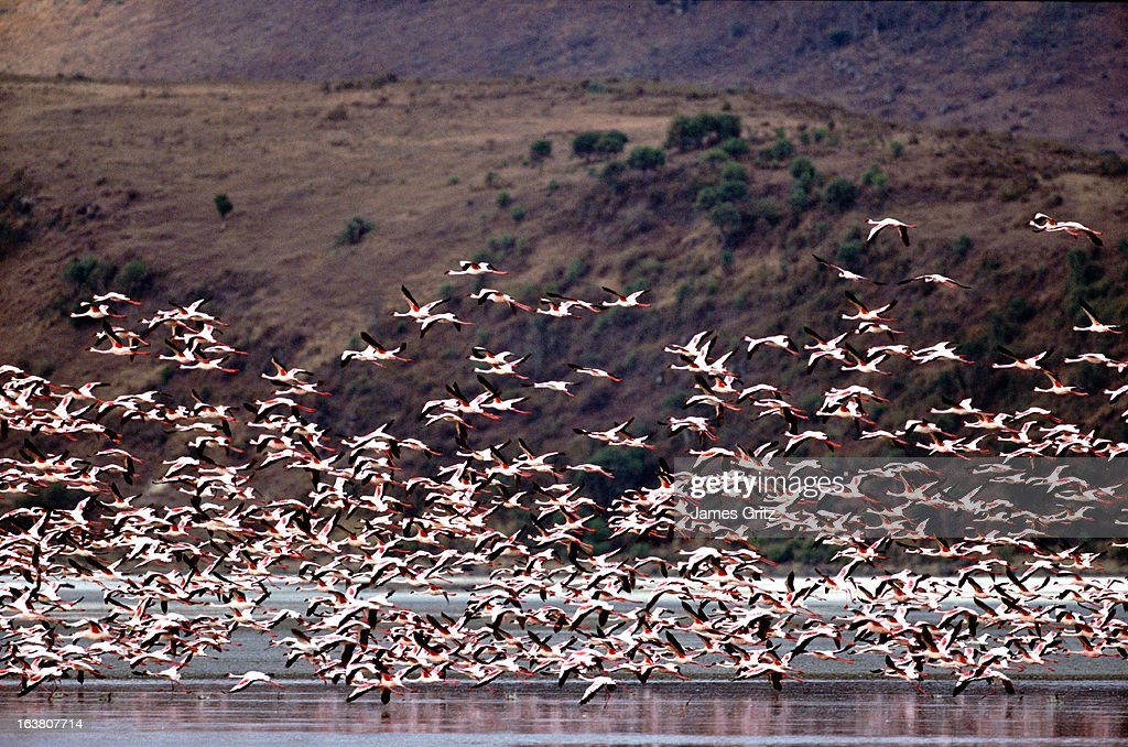 Flamingos in flight, Lake Elmenteita, Kenya : Stock Photo