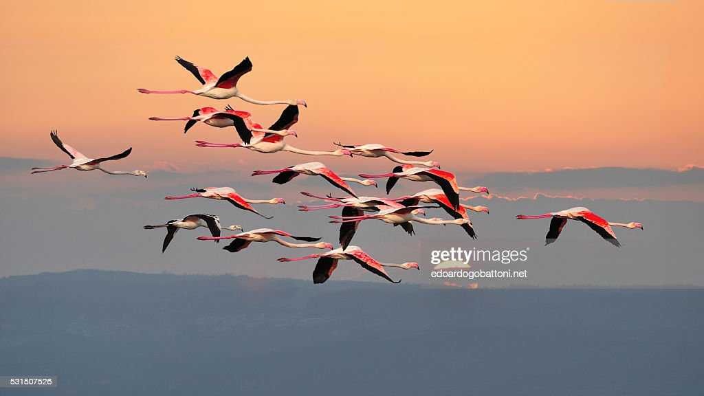 flamingos in flight : Foto stock