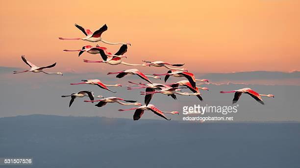 flamingos in flight - edoardogobattoni - fotografias e filmes do acervo