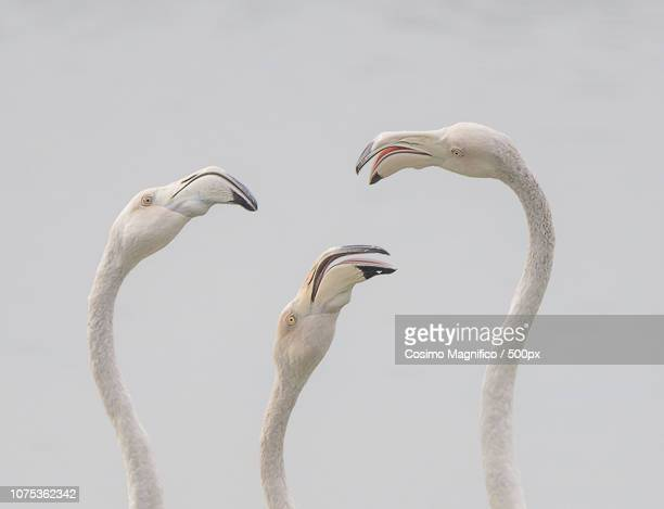 flamingos in high key - flamingo heart stock pictures, royalty-free photos & images