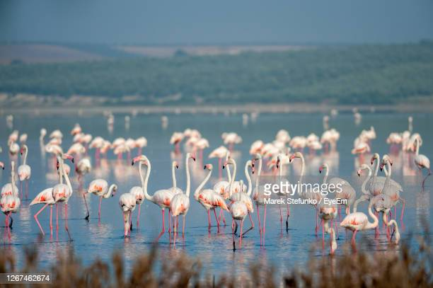 flamingos in lagoon fuente de piedra - marek stefunko stock pictures, royalty-free photos & images