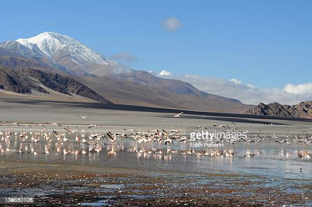Flamingos in Laguna Grande
