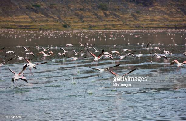 flamingos in lake chitu, abiata-shala national park, ethiopia - horn of africa stock pictures, royalty-free photos & images