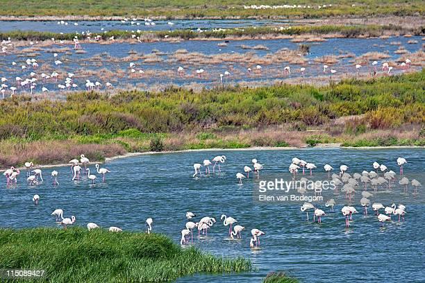 Flamingos in pond