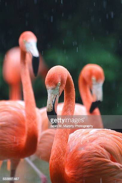 Flamingos in rain