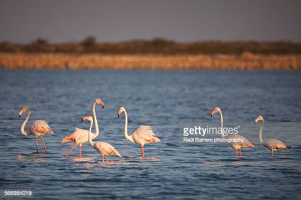 Flamingos in Santa Pola, Spain