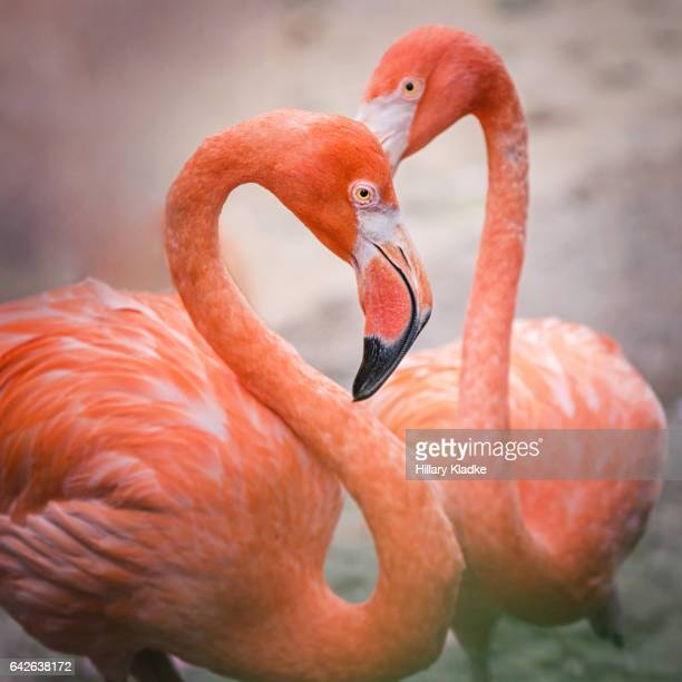 Flamingos in shape of heart