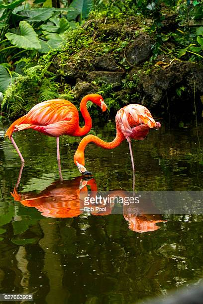 Flamingos in southern Florida