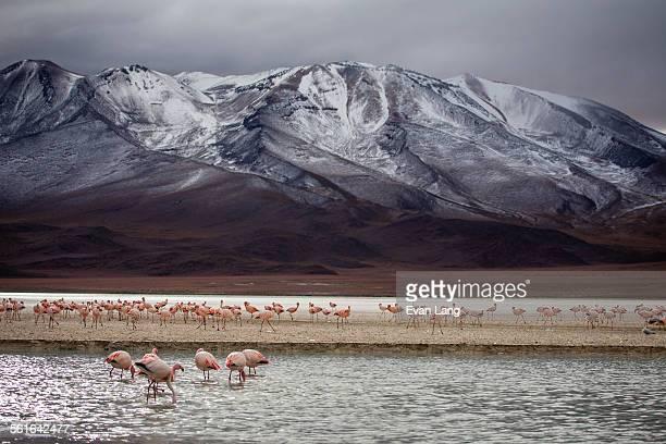 Flamingos in the Bolivian Desert