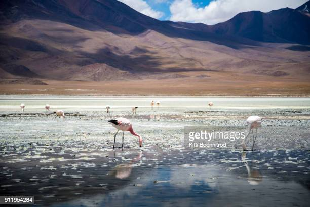 flamingos in the laguna colorada, during uyuni salt flat tour of bolivia - bolivia stockfoto's en -beelden