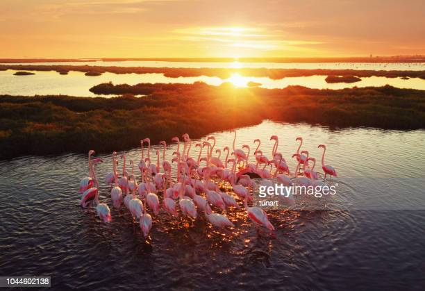 flamingos in wetland during sunset - animals in the wild stock pictures, royalty-free photos & images