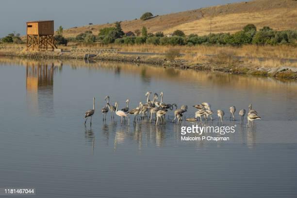 flamingos, kalloni, lesvos, greece - lesbos stock pictures, royalty-free photos & images