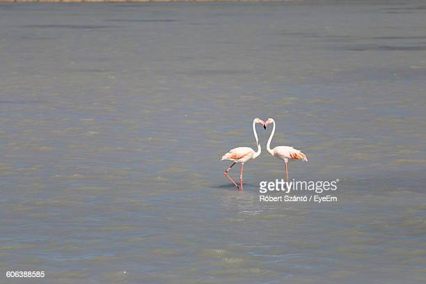 flamingos kissing in lake - flamingo heart stock pictures, royalty-free photos & images