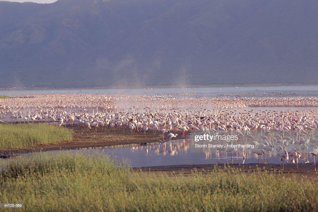 Flamingos, Lake Bogoria, Kenya, Africa : Foto de stock