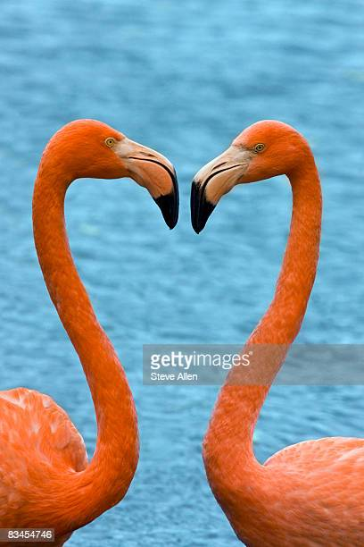 flamingos making a heart shape with their necks - flamingo heart stock pictures, royalty-free photos & images