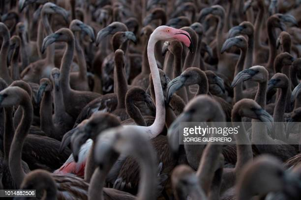 TOPSHOT Flamingos move around a pen at Fuente de Piedra lake 70 kms from Malaga on August 11 2018 during a tagging and control operation of flamingo...