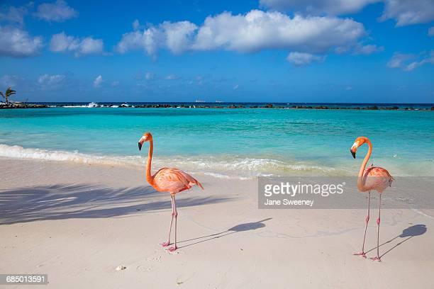 flamingos on flamingo beach, renaissance island, oranjestad, aruba, lesser antilles, netherlands antilles, caribbean, central america - greater flamingo stock photos and pictures