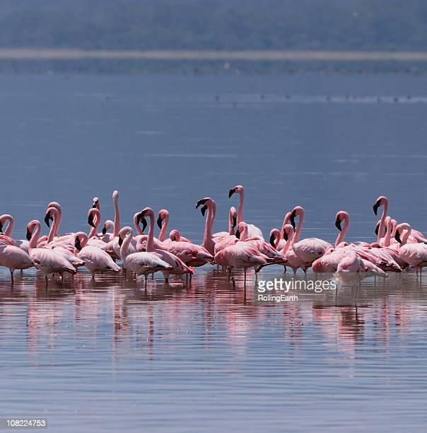 flamingos on lake nakuru - lake nakuru stock photos and pictures