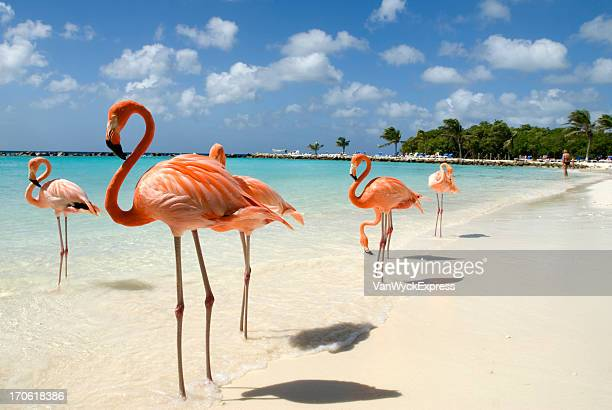 flamingos on the beach - flamingo stock photos and pictures