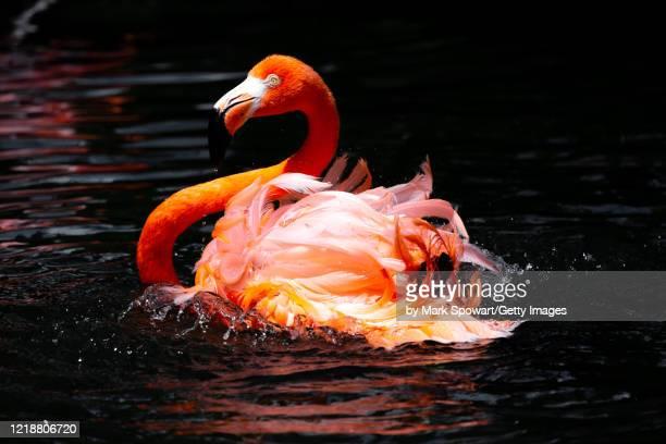 flamingos - sarasota stock pictures, royalty-free photos & images
