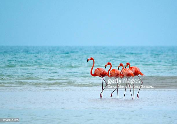 flamingos - quintana roo stock pictures, royalty-free photos & images