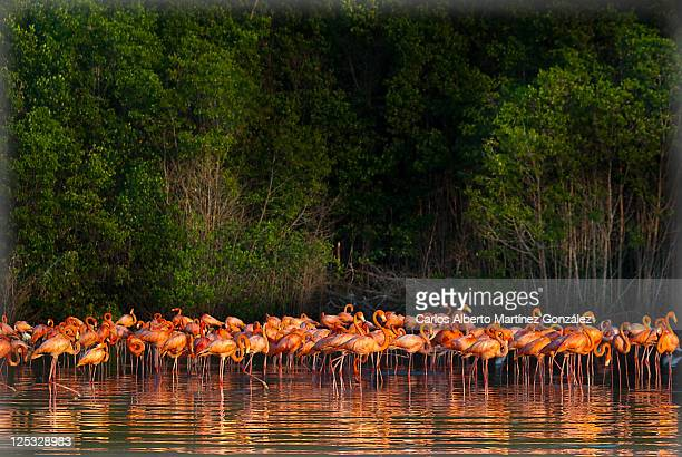 flamingos - yucatan stock pictures, royalty-free photos & images