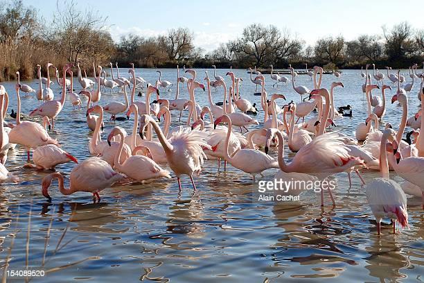 flamingos - サントマリードラメール ストックフォトと画像
