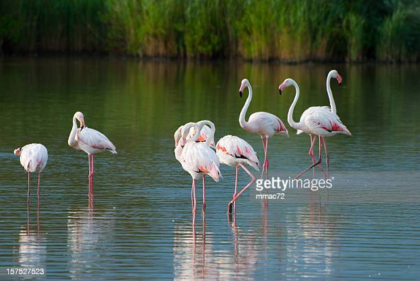 flamingos - zoology stock pictures, royalty-free photos & images