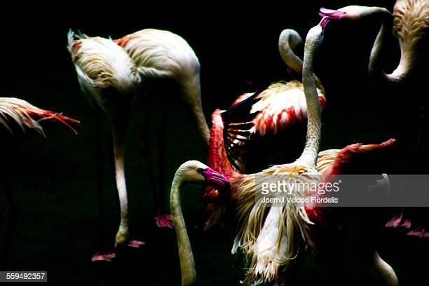 flamingos - jurong bird park stock pictures, royalty-free photos & images