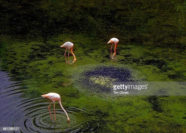 Flamingos...  Puerto Villamil -  Isabella - Galapa