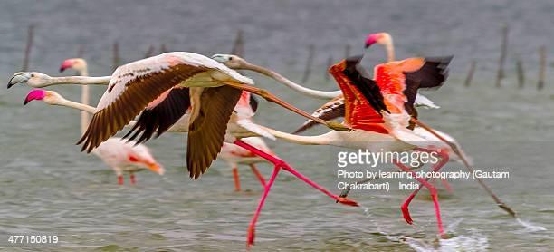 flamingos @ pulicat lake bird sanctuary-ap, india - odisha - fotografias e filmes do acervo