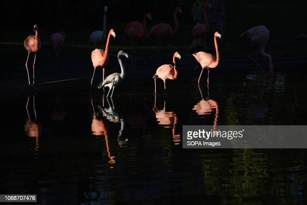 Flamingos seen at Madrid zoo where winter high temperatures reached up to 19º degrees during the afternoon hours