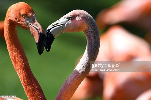 Flamingos stand in the sun in their enclosure at the zoo in Cologne western Germany on May 4 2016 / AFP / dpa / Federico Gambarini / Germany OUT