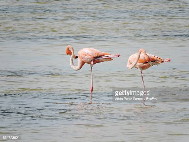 flamingos standing on one leg in lake - standing on one leg stock pictures, royalty-free photos & images