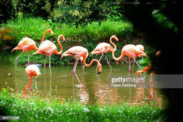 Flamingos stroll along a creek in a safari zoo in east China's Shandong province on July 29 2017 in Shandong China Feature China / Barcroft Images...