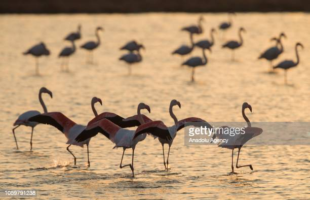 Flamingos swim in Gediz River during a sunset at Bird Paradise in Izmir Turkey on November 10 2018 Flamingos largest colony of Izmir bird paradise...