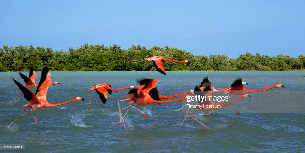 Flamingos taking flight near their nesting grounds : Stock Photo