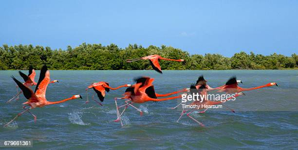 flamingos taking flight near their nesting grounds - timothy hearsum stock pictures, royalty-free photos & images