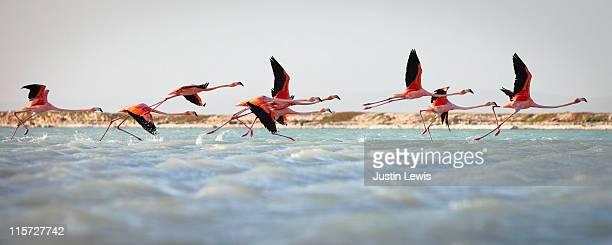 flamingos taking flight - caribisch nederland stockfoto's en -beelden